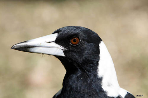 magpie-hindley