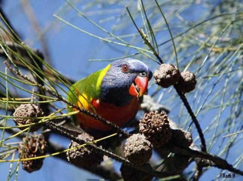 rainbow-lorikeet-hindley