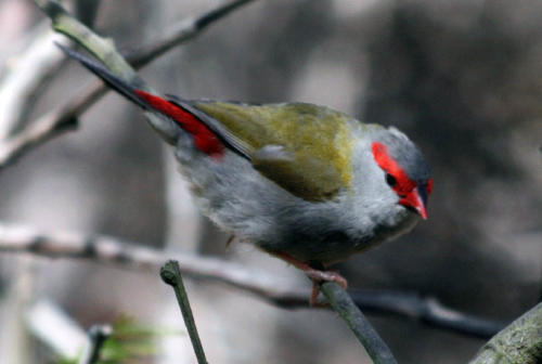 red-browed-finch-pam-hearn