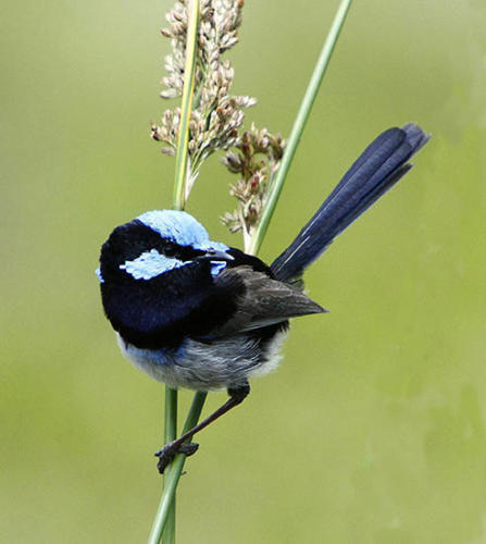 superb-fairy-wren-hindley