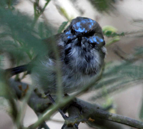 superb-fairy-wren-male-coming-into-breeding-colour-pam-hearn