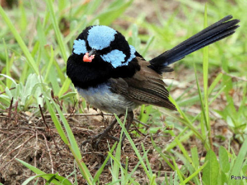 superb-fairy-wren-pam-hearn