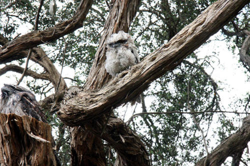 tawny-frogmouth-chick