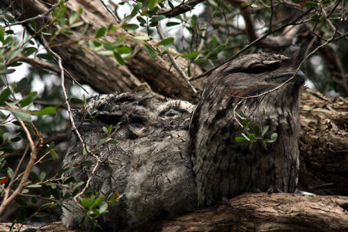 tawny-frogmouth-chicks-3
