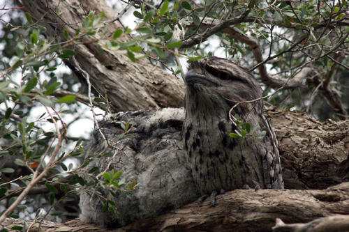 tawny-frogmouth-chicks-4