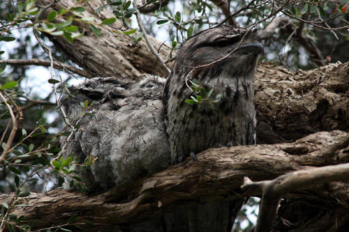 tawny-frogmouth-chicks2