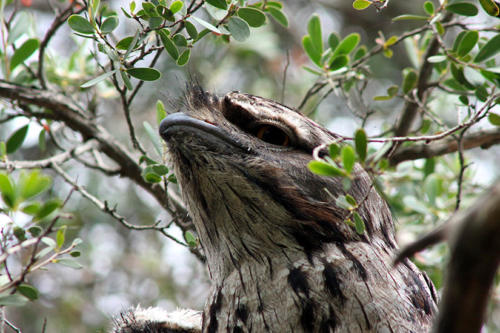 tawny-frogmouth-kirsner