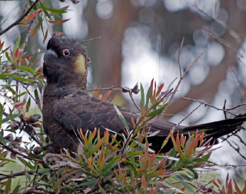 yellow-winged-black-cockatoo