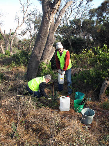 banksia-planting-on-the-foreshore-kirsner