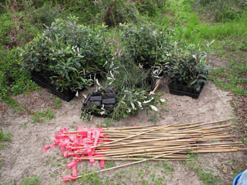 banksias-ready-for-foreshore-kirsner-planting